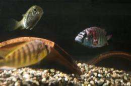 Female fish -- and humans? -- lose interest when their male loses a slugfest