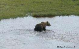 Grizzly bears move into polar bear habitat in Manitoba, Canada
