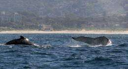 Humpback whales (C) rise out of the water off the coast near Sydney