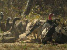 Increase in Cambodia's vultures gives hope to imperiled scavengers