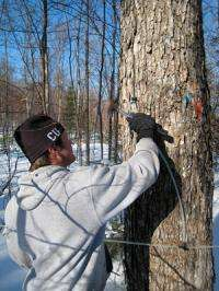 Maple sap will flow a month earlier, in 100 years