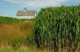 Miscanthus has a fighting chance against weeds