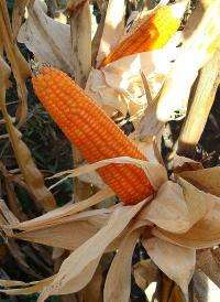 Orange corn holds promise for reducing blindness, child death