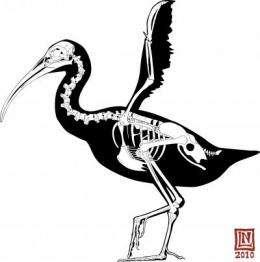 Prehistoric bird used club-like wings as weapon