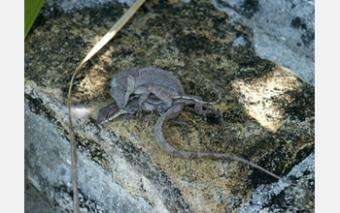Small But Mighty Female Lizards Control Genetic Destiny