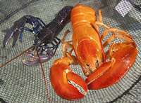 Unusual orange lobster saved from the pot
