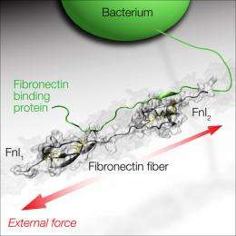 """Bacteria with """"force sensors"""""""