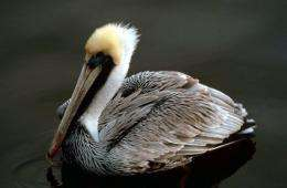 A brown pelican at the Everglades National Park