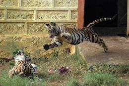 """Experts say the Bengal tiger is losing weight because of """"stress"""" associated with environmental changes"""