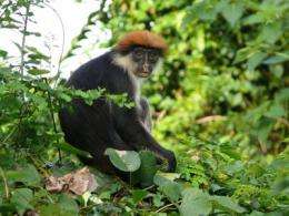New research reveals threat to monkey numbers from forest decline