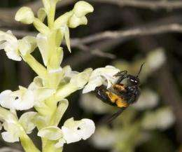 Wealth of orchid varieties is down to busy bees and helpful fungi, says study