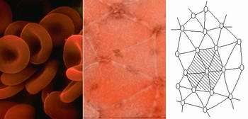 Scientists discover secret behind human red blood cell's amazing flexibility