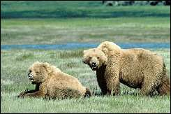 Handout photo from the US Fish and Wildlife Service shows two Grizzly bears
