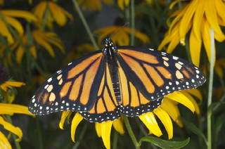 How Butterflies Fly Thousands Of Miles Without Getting Lost Revealed By Researchers