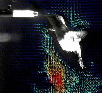 Hummingbird flight an evolutionary marvel