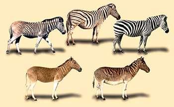 Existing zebra (top row) and extinct quagga (bottom row)