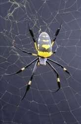 Nephila Senegalensis (Golden orb weaving spider).Credit: Oxford Silk Group