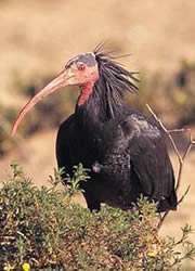 Ibis triumph raises hopes for rarest bird