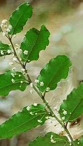 The Amborella plant. (Photo by Tom Lemieux)