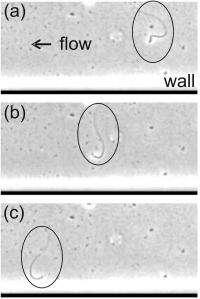 Even when faint, ovary scent draws sperm cells