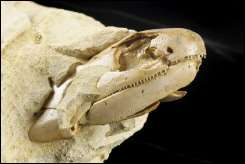 The head a 380 million year old Devonian fish fossil named Gogonasus, protrudes from a rock