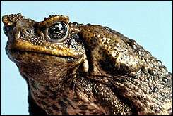 A poisonous cane toad