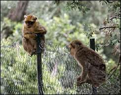 Barbary Macaques (Macaca sylvanus) at a monkeys park in Algeria