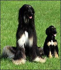 """South Korea\'s first cloned dog, """"Snuppy""""(R) is seen with his 'father' an Afghan hound"""