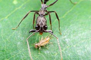 Ant jaws break speed record, propel insects into air