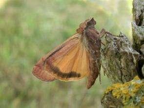 Yellow Underwing Moth
