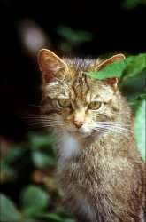 Domestic cat's 'five lives' could help save wild relatives