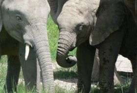 How do elephants keep in touch?