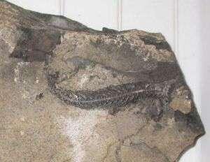 Adriosaurus microbrachis