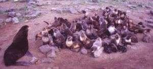 A Harem of Northern Fur Seals