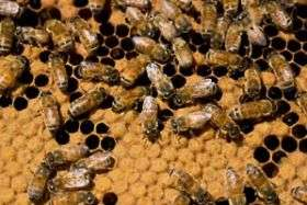 Bees are the new silkworms