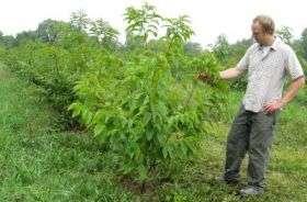 Douglass Jacobs examines a chestnut tree
