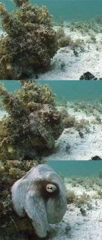Octopus and kin inspire new camouflage strategies for military applications