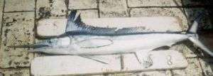 Roundscale Spearfish