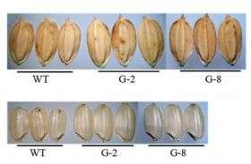 Scientists identify gene that may contribute to improved rice yield
