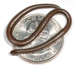 World's smallest snake found in Barbados