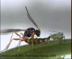 Aphid and Parasite Wasp