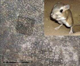 Counting kangaroo rats from space