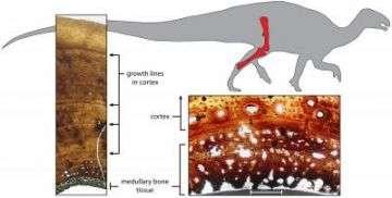 Egg-laying Tissue in Dinosaur Bone