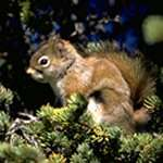 Female red squirrels opt for quantity over quality
