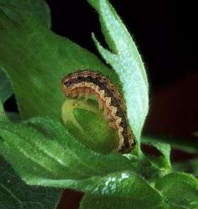First documented case of pest resistance to biotech cotton