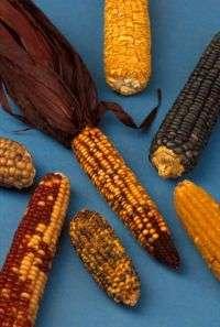 Fungus fight: Researchers battle against dangerous corn toxin