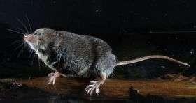 How water shrews find prey in the dark