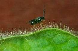 Microgastrine Wasps