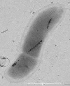 Mimicking bacteria to produce magnetic nanoparticles