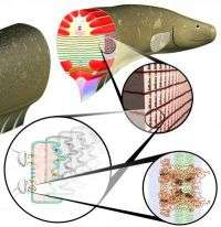 Models of Eel Cells Suggest Electrifying Possibilities